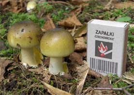 Young examples of amanita phalloides