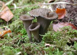 Black trumpet mushrooms against green moss