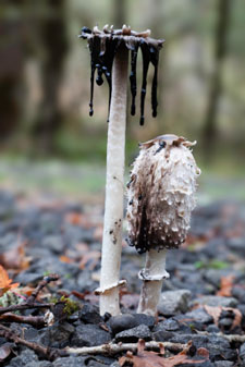 Coprinus comatus dissolving shortly after being picked