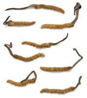 Cordyceps sinensis fruiting from caterpillars