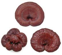 Dried reishi mushrooms make a Ganoderma extract