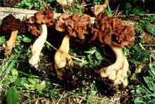 False morel mushrooms - gyromitra esculenta