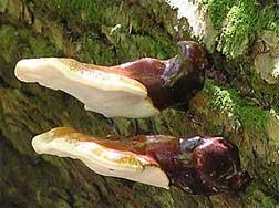 Ganoderma tsugae - Northeastern reishi mushroom