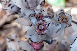Closeup view of the ghost plant