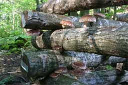 Types of mushrooms: growing shiitake mushrooms is often done on wood