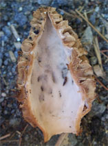 The inside of a hollow morel mushroom