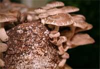 Mushroom cultivation - how to grow mushrooms