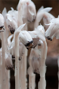 Indian pipes are actually plants