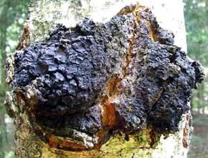 Inonotus obliquus, the medicinal chaga mushroom