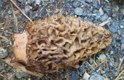 Another morel mushroom close-up
