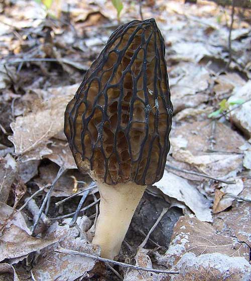 Another black morel mushroom from Poland