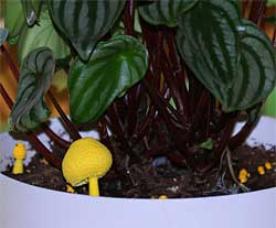 Yellow mushrooms in a potted houseplant