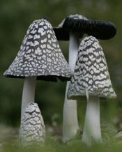 Coprinopsis picacea, the Magpie Inkcap