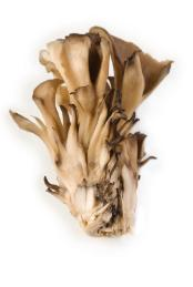 cross section of Grifola frondosa, the maitake mushroom