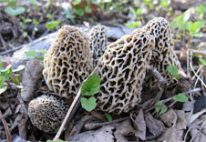 morel mushroom hunting tips