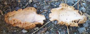 Morel mushroom identification hint - hollow inside