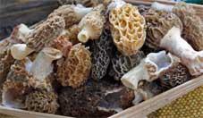Morel mushrooms appear in the spring