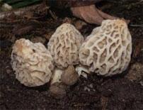 Multiple morel mushrooms