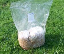 An oyster mushroom spawn bag