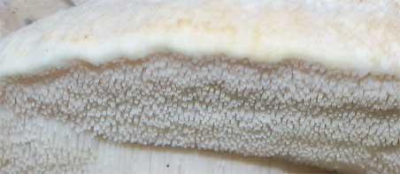Teeth on a northern tooth mushroom