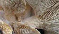 Close up of oyster mushroom gills