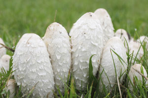 The shaggy mane mushroom, coprinus comatus, is edible when young