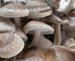 Shiitake mushrooms up close