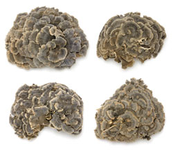 Learn how to take Trametes versicolor for health!