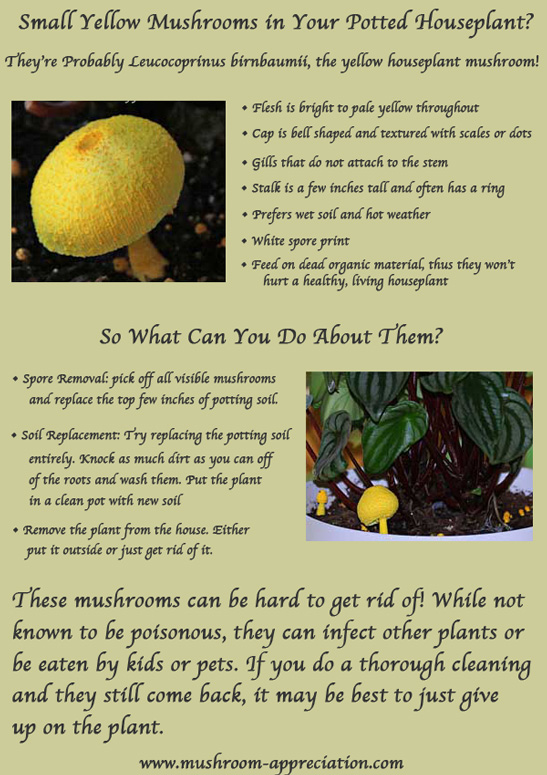 Infographic on how to get rid of yellow mushrooms