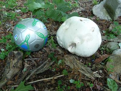Puffball bigger than #5 soccer ball!