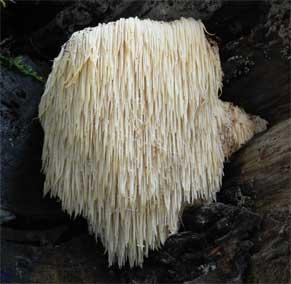 The Lion's Mane Mushroom