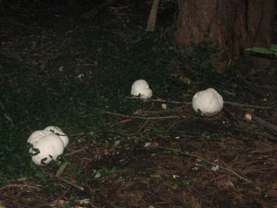 Group of 4 large puffball mushrooms