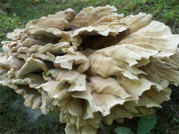 A close-up of a Berkeley's Polypore, quite a large mushroom!